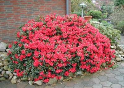 rhododendron-repens-baden-baden-2