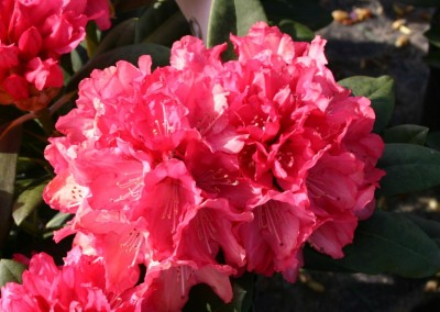 Rhododendron 'Sneezy' - Rhododendron yakushimanum 'Sneezy'
