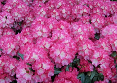 rhododenrhododendron-yakushimanum-fantastica-sind-ausse-2273542_1